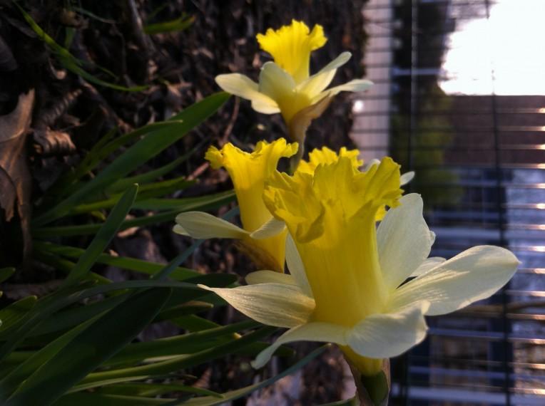 Bollen fleuren Mariahoeve